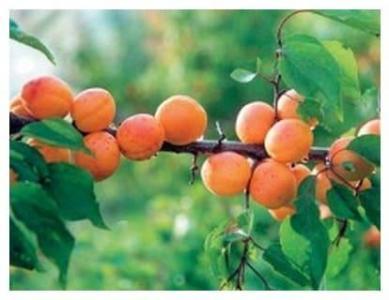 купить абрикос