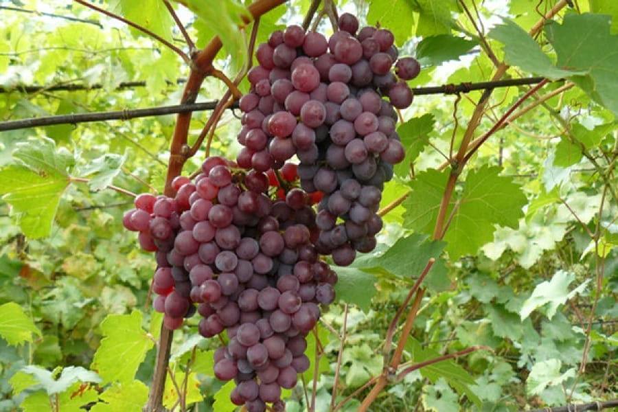 зиму реалити, сорт винограда оазис фото и описание мост